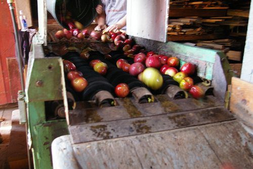 Apples rolling down a conveyor belt.